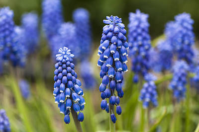 Photograph - Grape Hyacinth by Dan Hefle