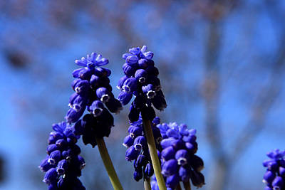 Photograph - Grape Hyacinth by Emanuel Tanjala