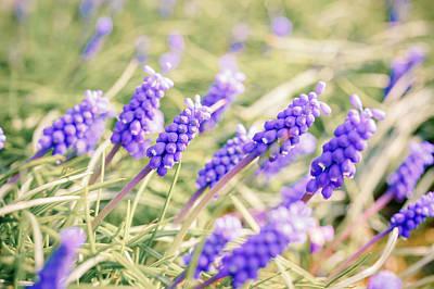 Muscari Photograph - Grape Hyacinth Flowers by Wladimir Bulgar