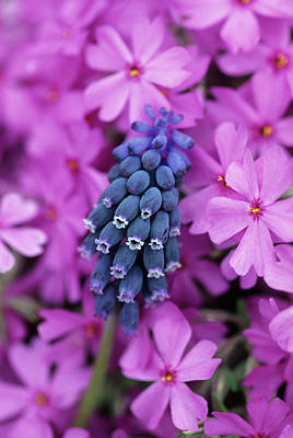 Grape Hyacinth In Phlox In Garden Art Print by Jaynes Gallery