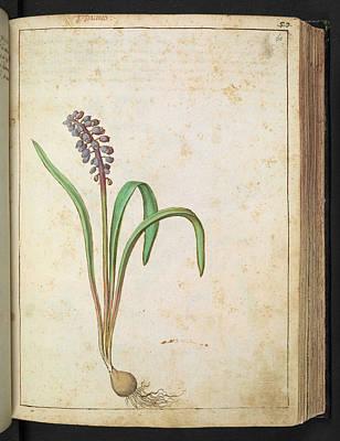 Muscari Photograph - Grape Hyacinth (muscari Sp.) by British Library