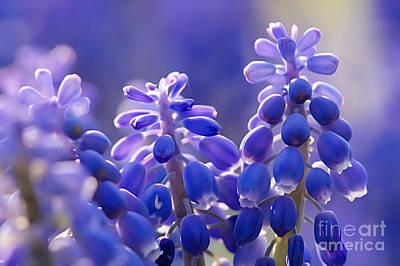 Purple Grapes Digital Art - Grape Hyacinth Muscaria Neglectum  by Odon Czintos