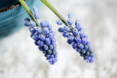 Hyacinths Photograph - Grape Hyacinth by Nailia Schwarz