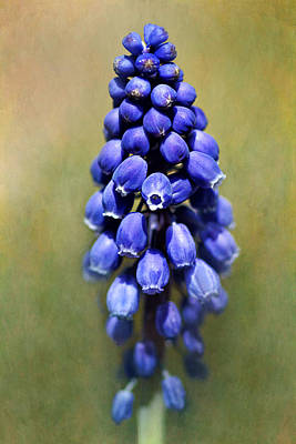 Grape Hyacinth Art Print by Nikolyn McDonald