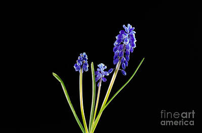Photograph - Grape Hyacinth On Black by Kennerth and Birgitta Kullman