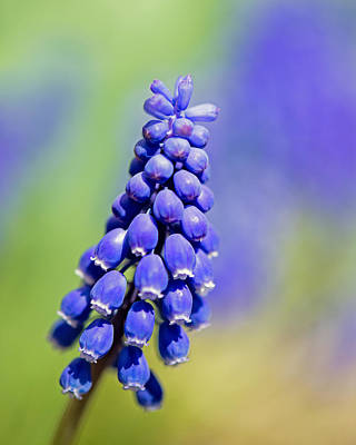 Grape Hyacinth Art Print