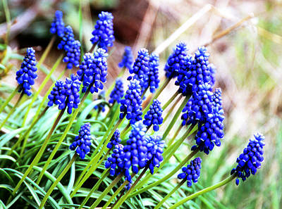 Photograph - Grape Hyacinth by Robert  Rodvik