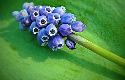 Photograph - Grape Hyacinth Spike  by Chris Berry