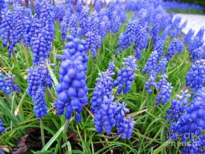 Photograph - grape hyacinth Traubenhyazinthen by Art Photography