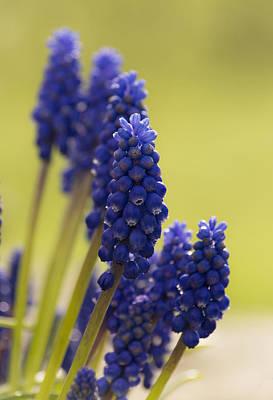 Photograph - Grape Hyacinth by Veli Bariskan
