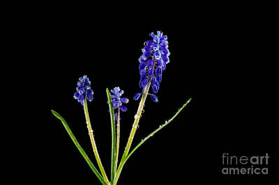 Photograph - Grape Hyacinth With Water Drops by Kennerth and Birgitta Kullman