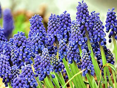 Photograph - Grape Hyacinths by Janice Drew
