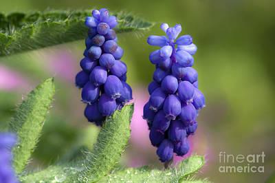 Macro Grapes Photograph - Grape Hyacinths by Michal Boubin