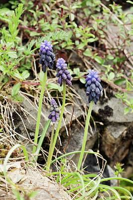 Muscari Photograph - Grape-hyacinths (muscari Neglectum) by Bob Gibbons