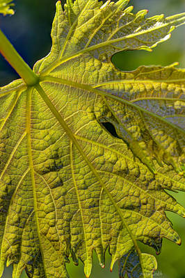 Grape Leaves Photograph - Grape Leaf Detail by Heidi Smith