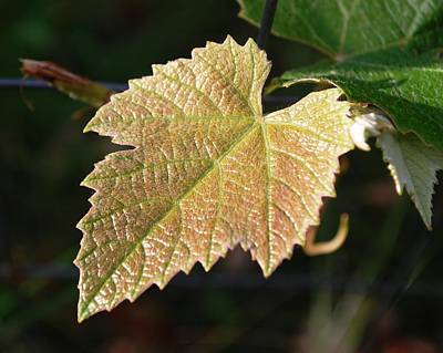 Photograph - Grape Leaf In Focus by Dakota Light Photography By Dakota
