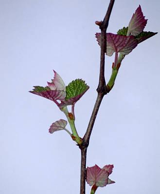 Grape Leaves Art Print by Cynthia Syracuse