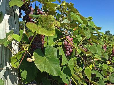 Photograph - Grapes Ready For Harvest by Michael Saunders