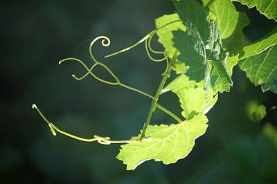 Photograph - Grape Tendrils by Tamyra Crossley