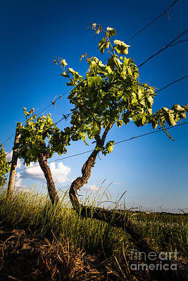 Photograph - Grape Vine Against Blue Sky by Peter Noyce