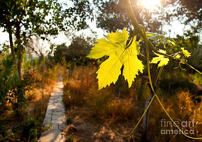Grape Vines Photograph - Grape Vine By A Path In A Garden by Leyla Ismet