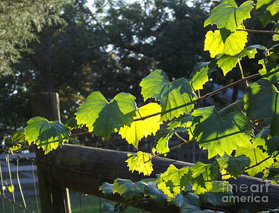 Grape Vine In The Sun Art Print