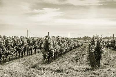 Grape Vine Photograph - Grape Vine Rows Toned by Georgia Fowler