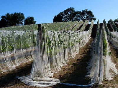 Photograph - Grape Vines Covered In Netting by Jeff Lowe