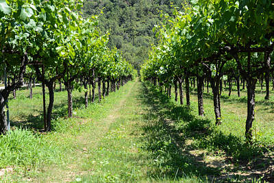 Napa Photograph - Grape Vines In A Row by Brandon Bourdages