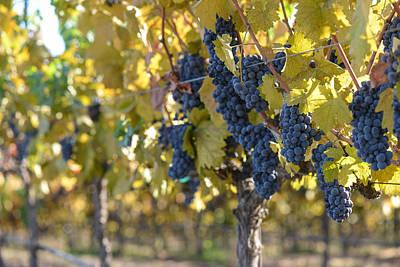 Napa Valley Photograph - Grape Vineyard In Autumn by Brandon Bourdages