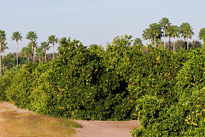 Grapefruit Photograph - Grapefruit Grove In Mission, Texas by Larry Ditto
