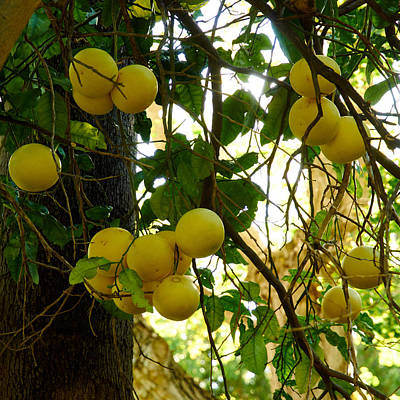Photograph - Grapefruits by Jouko Lehto