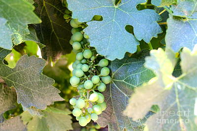 Photograph - Grapes 1 by Pamela Walrath