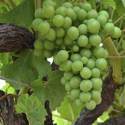 Photograph - Geographe Bay Grapes 1.1 by Cheryl Miller