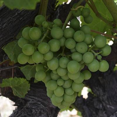 Photograph - Margaret River Grapes 1.4 by Cheryl Miller