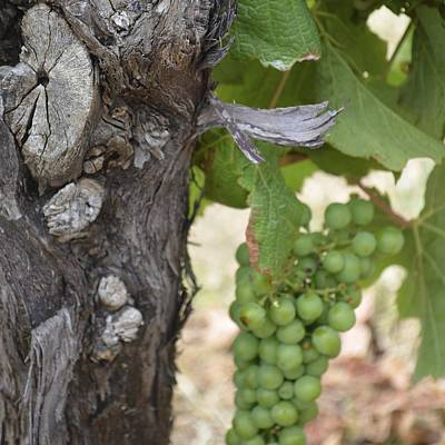 Photograph - Margaret River Grapes 1.6 by Cheryl Miller