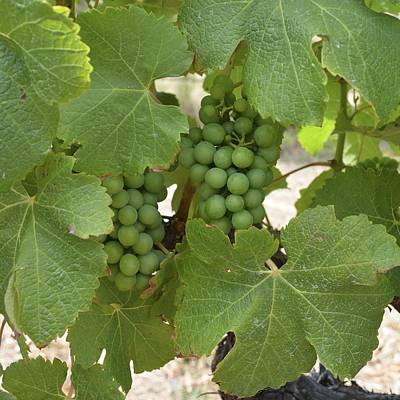 Photograph - Margaret River Grapes 1.1 by Cheryl Miller