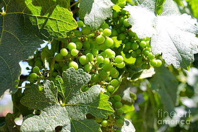 Photograph - Grapes 2 by Pamela Walrath