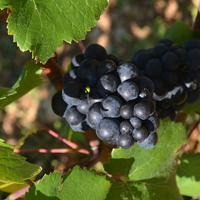 Photograph - Burgundy Grapes 1.1 by Cheryl Miller