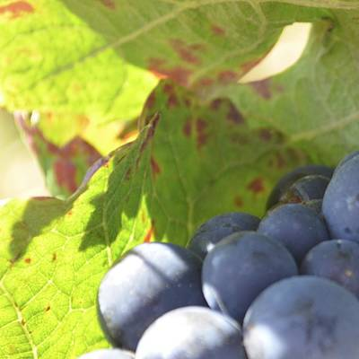 Photograph - Cote De Nuits Grapes 1.1 by Cheryl Miller