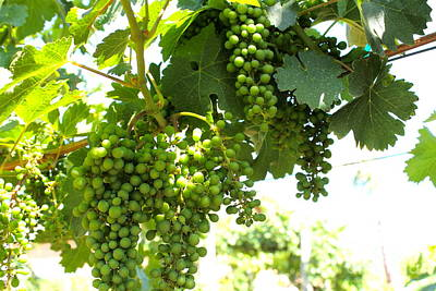 Photograph - Grapes 3 by Pamela Walrath