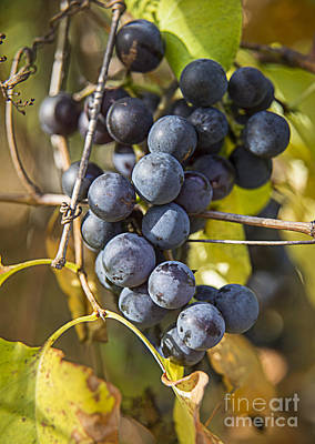 Photograph - Grapes by Alana Ranney