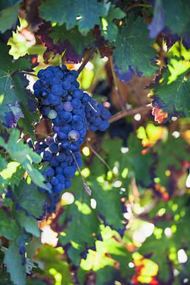 Blue Grapes Photograph - Grapes Growing On A Vinelaguardia La by Carlos Sanchez Pereyra