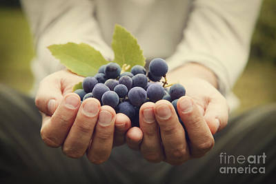 Blue Grapes Photograph - Grapes Harvest by Mythja  Photography