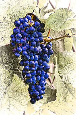 Still Life Photograph - Grapes by Marcia Colelli