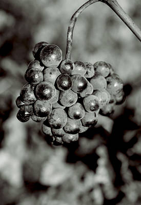 Photograph - Grapes by Matthew Pace