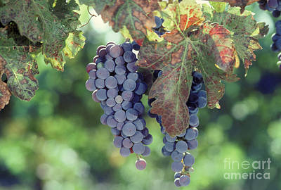 Grapes Nearing Maturity In Napa Valley Print by Ron Sanford