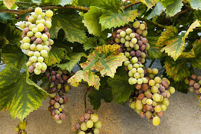 Grapes Of Provence Print by Karma Boyer