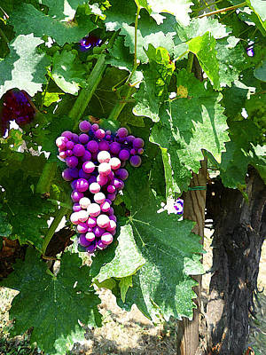 Photograph - Grapes Of Tuscany Italian Winery  by Irina Sztukowski