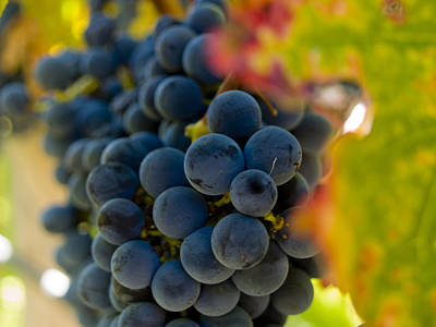 Wine Grapes Photograph - Grapes On The Vine by Bill Gallagher